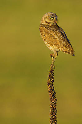 Photograph - Burrowing Owl In Sunlight by John De Bord