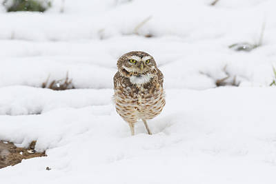 Photograph - Burrowing Owl In The Colorado Snow by Tony Hake