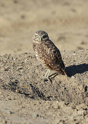 Photograph - Burrowing Owl In The Dirt by Carol Groenen