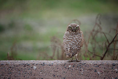 Burrowing Owl Wall Art - Photograph - Burrowing Owl by Jesse Castellano