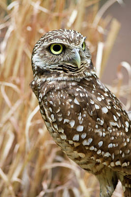 Photograph - Burrowing Owl by Jill Lang