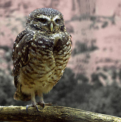 Photograph - Burrowing Owl by Joseph Skompski