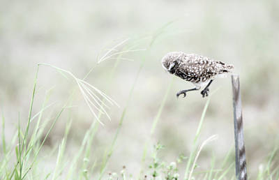 Photograph - Burrowing Owl Jump by Tracy Winter