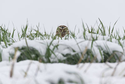 Photograph - Burrowing Owl Keeping Watch In The Snow by Tony Hake
