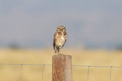 Photograph - Burrowing Owl Keeps It Serious by Tony Hake