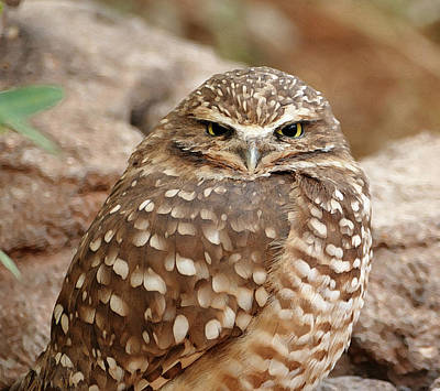 Photograph - Burrowing Owl by Laurel Powell