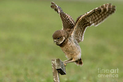Photograph - Burrowing Owl - Learning To Fly by Meg Rousher