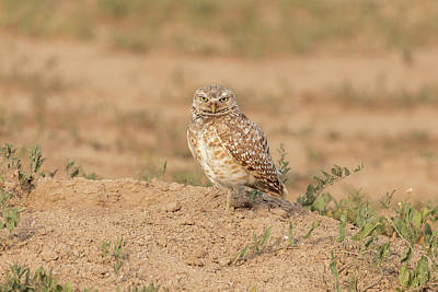 Photograph - Burrowing Owl Looks Serious by Tony Hake