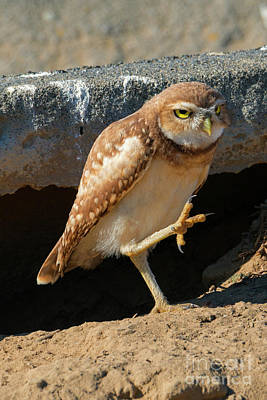 Burrowing Owl Photograph - Burrowing Owl March by Mike Dawson