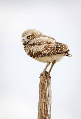 Photograph - Burrowing Owl Model by Athena Mckinzie