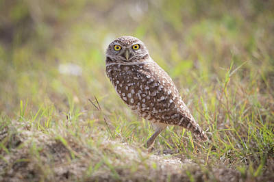 Photograph - Burrowing Owl Of Florida by Paul Treseler