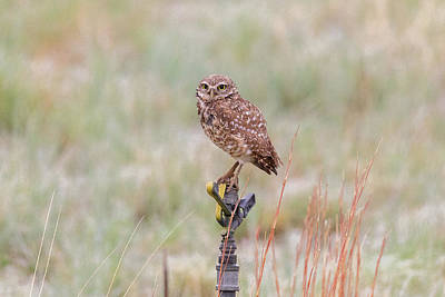 Photograph - Burrowing Owl On A Sprinkler by Tony Hake