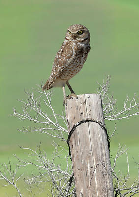 Photograph - Burrowing Owl On Post by Steve McKinzie