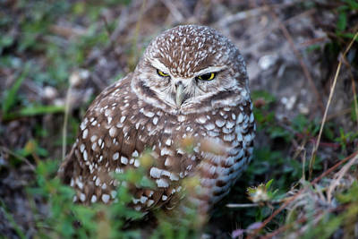 Photograph - Burrowing Owl Outside Of Her Nest by Dan Friend
