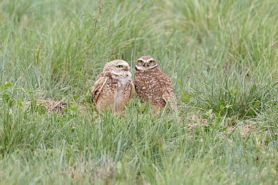 Photograph - Burrowing Owl Pair On The Great Plains by Tony Hake