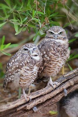 Photograph - Burrowing Owl Pair  by Saija Lehtonen