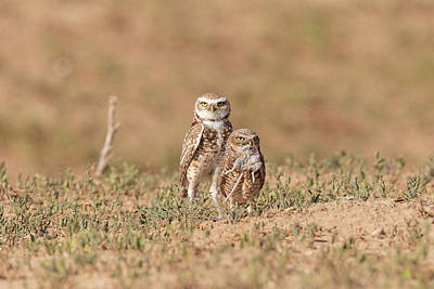 Photograph - Burrowing Owl Parents With Breakfast by Tony Hake