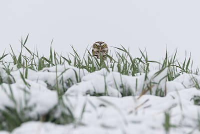 Photograph - Burrowing Owl Peeking Above The Snow by Tony Hake