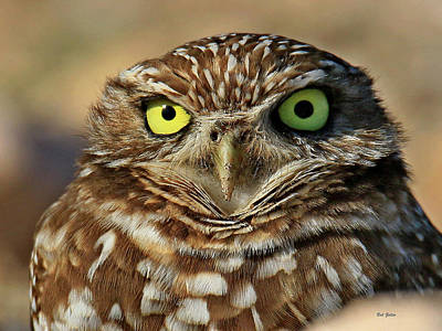 Photograph - Burrowing Owl Portrait by Bob Zeller
