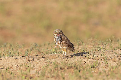 Photograph - Burrowing Owl Shows Off Breakfast by Tony Hake