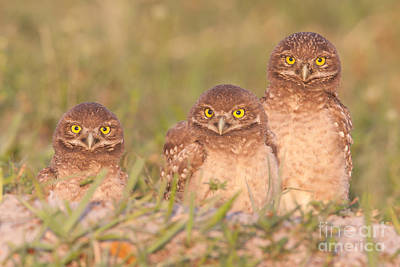 Three Chicks Photograph - Burrowing Owl Siblings by Clarence Holmes