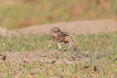 Photograph - Burrowing Owl Stretches Its Wing by Tony Hake