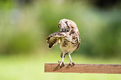 Photograph - Burrowing Owl Stretching by Tracy Winter