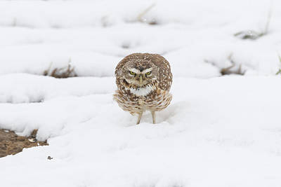 Photograph - Burrowing Owl Takes A Warning Stance by Tony Hake