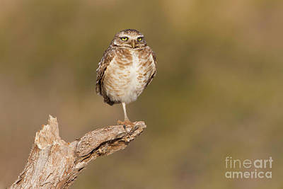Photograph - Burrowing Owl Taking A Break by Bryan Keil