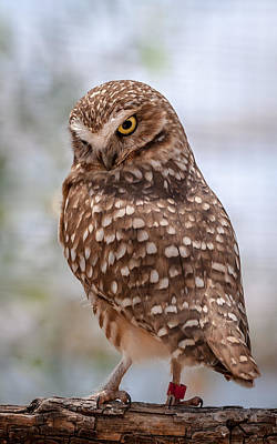 Phoenix Zoo Photograph - Burrowing Owl by Tamera Wohlever