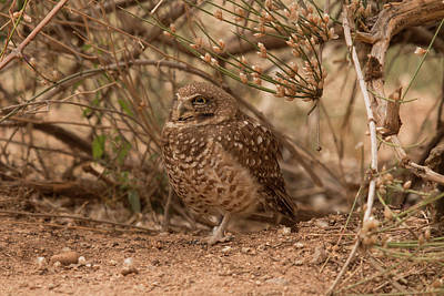 Wild And Wacky Portraits Rights Managed Images - Burrowing Owl Royalty-Free Image by Teresa Wilson