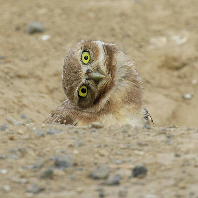 Photograph - Burrowing Owl Tilted Head by Steve McKinzie