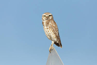Target Threshold Watercolor - Burrowing Owl Tops a Sign by Tony Hake