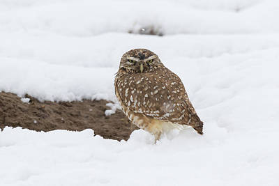 Photograph - Burrowing Owl Weathers The Snow by Tony Hake