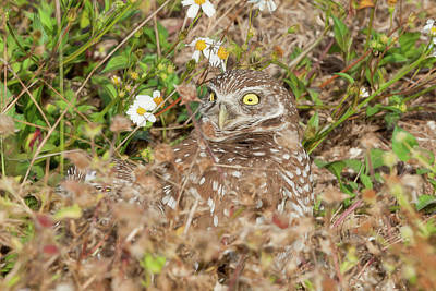 Photograph - Burrowing Owl With Wide Eye by Dan Friend