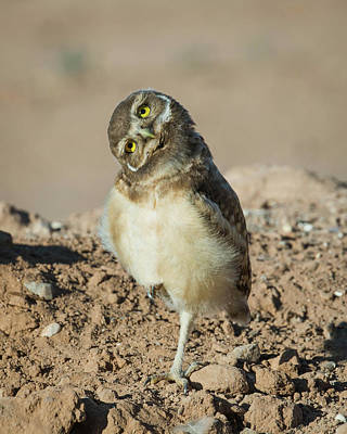 Photograph - Burrowing Owlet-img_118717 by Rosemary Woods-Desert Rose Images