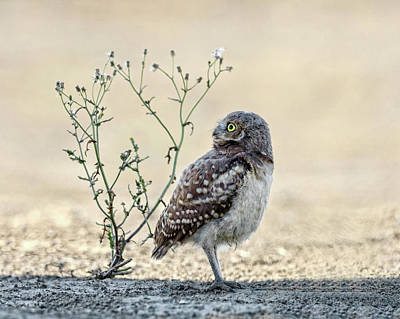 Photograph - Burrowing Owlet by Wes and Dotty Weber