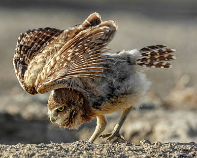 Photograph - Burrowing Owlet Workout by Wes and Dotty Weber