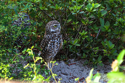 Photograph - Burrowing Owls At Guard by Ed Gleichman