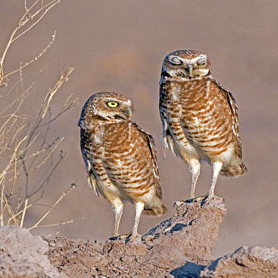Photograph - Burrowing Owls At Salton Sea by Thanh Thuy Nguyen