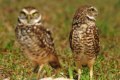 Photograph - Burrowing Owls by Daniel Woodrum