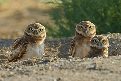 Photograph - Burrowing Owls by Doug Herr