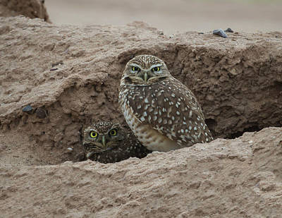 Photograph - Burrowing Owls-img_586917 by Rosemary Woods-Desert Rose Images