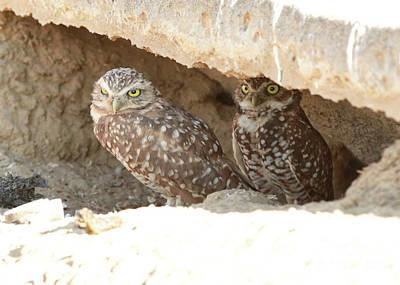 Burrowing Owls In Burrow Art Print