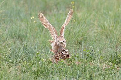 Photograph - Burrowing Owls Mating On The Great Plains by Tony Hake