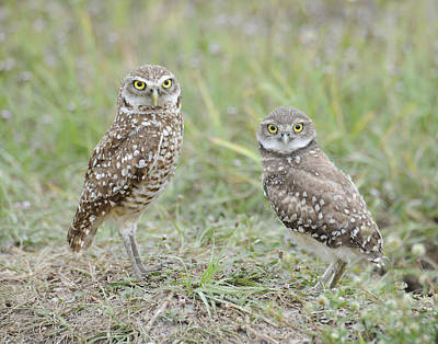 Burrowing Owls Nesting Art Print by Keith Lovejoy