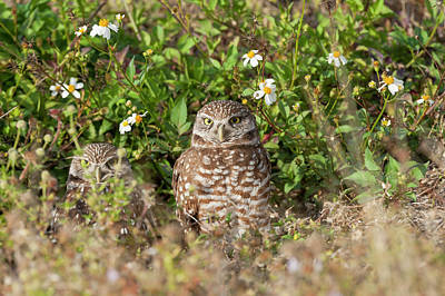 Photograph - Burrowing Owls Outside Their Den by Dan Friend