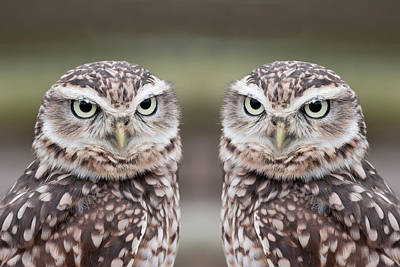 Owls Photograph - Burrowing Owls by Tony Emmett
