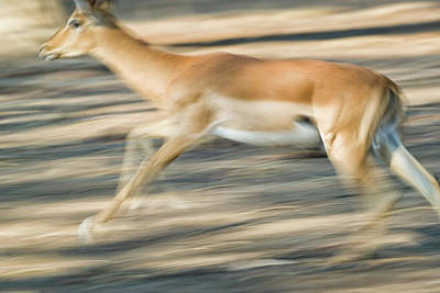 Photograph - Bush Buck In Flight by Fran Gallogly