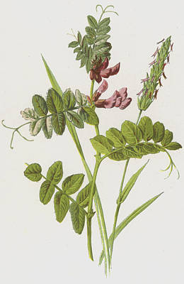 Botanical Drawing - Bush Vetch And Sweet Scented Vernal Grass by Frederick Edward Hulme